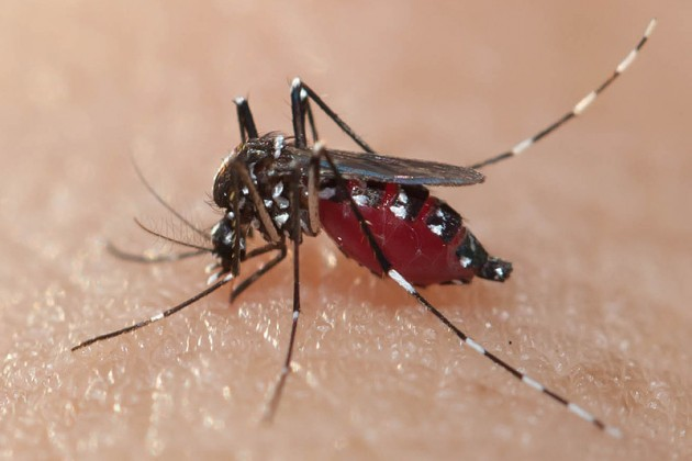 dt_151124_aedes_aegypti_mosquito_800x600